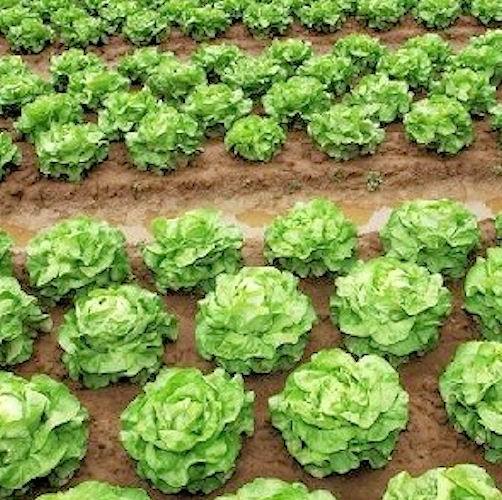 Salades question 1207 for Traitement contre les chenilles