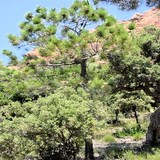 PIN D'ALEP - PINUS HALEPENSIS - QUESTION 1214
